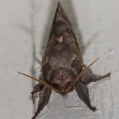 Oxycanus dirempta (TBC) at Googong, NSW - 4 May 2021 by WHall