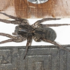 Unidentified Spider (Araneae) (TBC) at Googong, NSW - 6 May 2021 by WHall