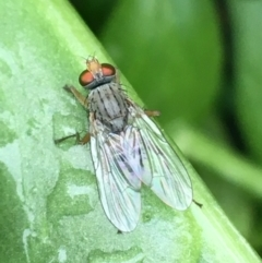 Unidentified Bristle Fly (Tachinidae) (TBC) at O'Connor, ACT - 5 May 2021 by Ned_Johnston