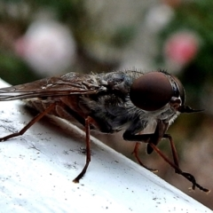 Unidentified True fly (Diptera) (TBC) at Crooked Corner, NSW - 5 Mar 2017 by Milly