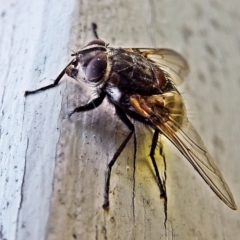 Unidentified True fly (Diptera) (TBC) at Crooked Corner, NSW - 11 Feb 2018 by Milly
