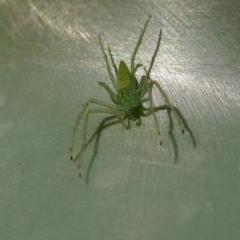 Oxyopes sp. (genus) (Lynx spider) at Rugosa at Yass River - 9 May 2021 by SenexRugosus