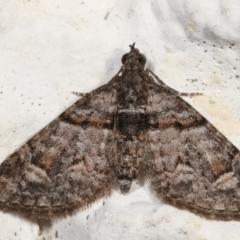 Phrissogonus laticostata (Apple looper moth) at Melba, ACT - 5 May 2021 by kasiaaus