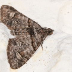 Phrissogonus laticostata at Melba, ACT - 6 May 2021