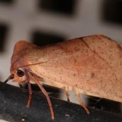 Fisera (genus) (TBC) at Melba, ACT - 6 May 2021 by kasiaaus
