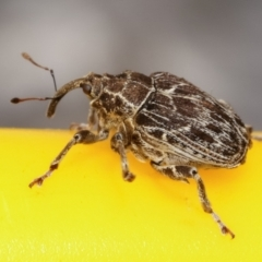 Mogulones geographicus (Paterson's Curse root weevil) at Melba, ACT - 6 May 2021 by kasiaaus