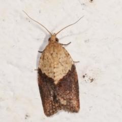 Epiphyas postvittana (Light Brown Apple Moth) at Melba, ACT - 6 May 2021 by kasiaaus