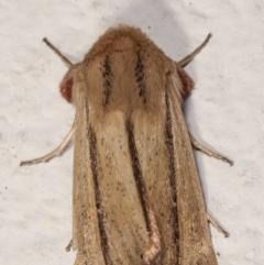 Leucania diatrecta at Melba, ACT - 6 May 2021