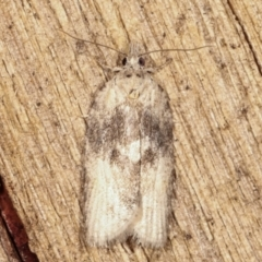 Tortricinae (subfamily) (A tortrix moth) at Melba, ACT - 9 Mar 2021 by kasiaaus