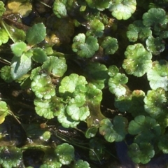 Unidentified Other Wildflower or Herb (TBC) at Namadgi National Park - 9 May 2021 by JaneR