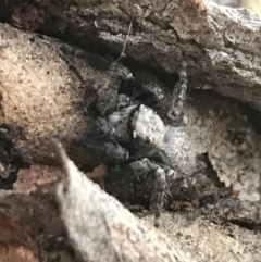 Servaea sp. (genus) (Unidentified Servaea jumping spider) at Garran, ACT - 1 May 2021 by Tapirlord