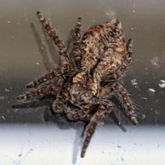 Servaea sp. (genus) (Unidentified Servaea jumping spider) at Kambah, ACT - 9 May 2021 by HelenCross