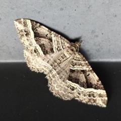 Chrysolarentia subrectaria (Geometrid moth) at Acton, ACT - 7 May 2021 by Angus44