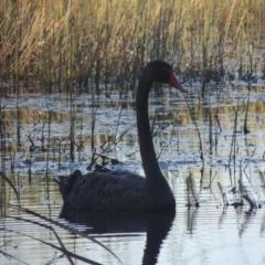 Cygnus atratus (Black Swan) at Isabella Pond - 4 Mar 2021 by michaelb