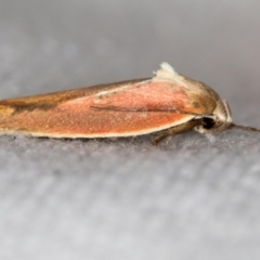 Ptyoptila matutinella (A Concealer moth) at Melba, ACT - 24 Dec 2020 by Bron