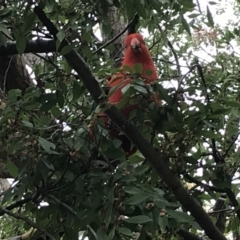 Alisterus scapularis (Australian King-Parrot) at Phillip, ACT - 5 May 2021 by Tapirlord