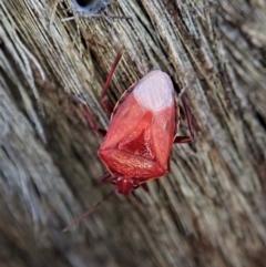 Unidentified Shield, Stink & Jewel Bug (Pentatomoidea) (TBC) at Aranda Bushland - 1 May 2021 by CathB
