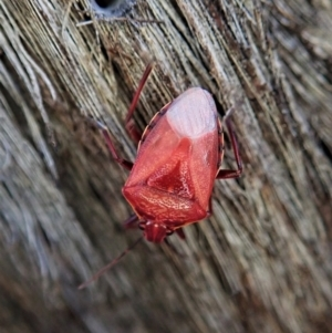 Unidentified Shield, Stink & Jewel Bug (Pentatomoidea) (TBC) at suppressed by CathB