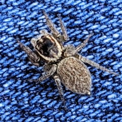 Hypoblemum griseum (A jumping spider) at Kambah, ACT - 10 May 2021 by HelenCross
