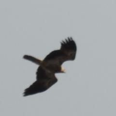 Haliastur sphenurus (Whistling Kite) at Kambah, ACT - 10 May 2021 by HelenCross