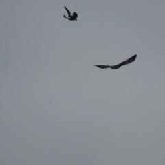 Hieraaetus morphnoides (Little Eagle) at Jerrabomberra Wetlands - 4 May 2021 by roymcd