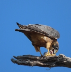 Falco longipennis (Australian Hobby) at Red Hill Nature Reserve - 30 Apr 2021 by roymcd