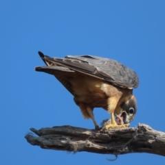 Falco longipennis (Australian Hobby) at Garran, ACT - 30 Apr 2021 by roymcd