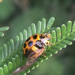 Harmonia conformis (Common Spotted Ladybird) at Goulburn, NSW - 9 May 2021 by Ned_Johnston
