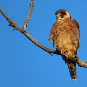 Falco longipennis (Australian Hobby) at Red Hill Nature Reserve by roymcd