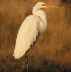 Ardea alba (Great Egret) at Jerrabomberra Wetlands - 10 May 2021 by roymcd
