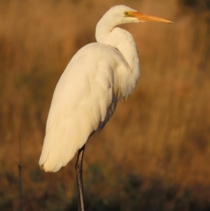 Ardea alba (TBC) at suppressed by roymcd