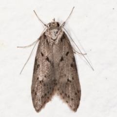 Haplodyta polybotrya (A Concealer moth) at Melba, ACT - 8 May 2021 by kasiaaus