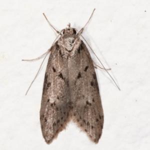 Haplodyta polybotrya (A Concealer moth) at Melba, ACT by kasiaaus