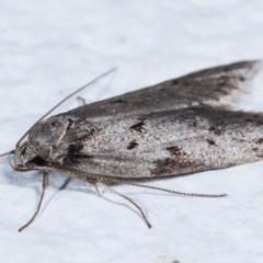 Haplodyta polybotrya at Melba, ACT - 9 May 2021