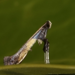 Caloptilia azaleella (Azalea Leafminer) at Melba, ACT - 9 May 2021 by kasiaaus