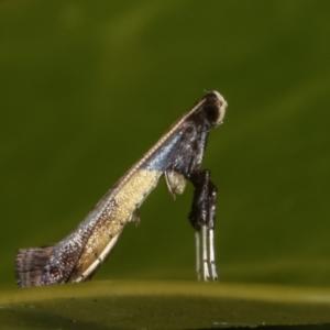 Caloptilia azaleella (Azalea Leafminer) at Melba, ACT by kasiaaus