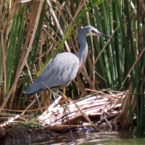 Egretta novaehollandiae (White-faced Heron) at Point Hut Pond by RodDeb