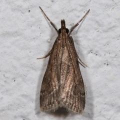 Scoparia cleodoralis (A Crambid moth) at Melba, ACT - 9 May 2021 by kasiaaus