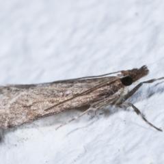 Eudonia cleodoralis at Melba, ACT - 9 May 2021