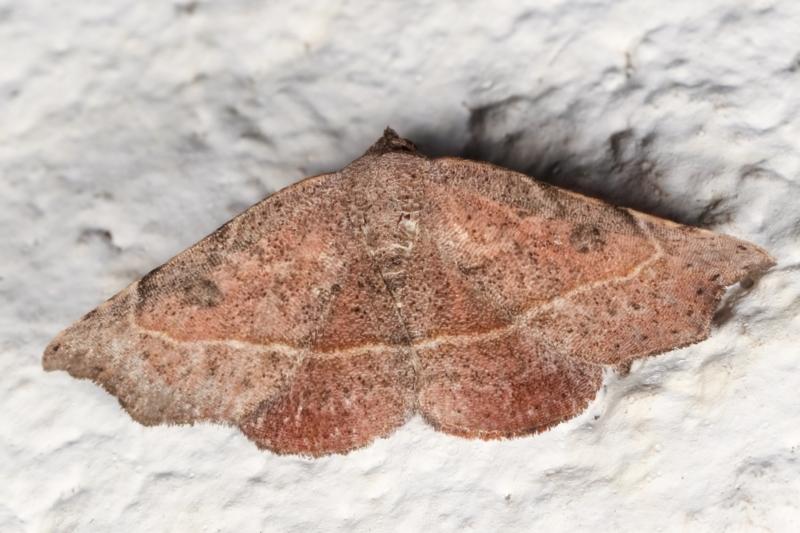 Sophta concavata at Melba, ACT - 8 May 2021
