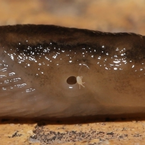 Riccardoella oudemansi (White Slug Mite) at Evatt, ACT by TimL