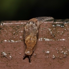 Cystopelta sp. (genus) (Unidentified Cystopelta Slug) at ANBG - 4 May 2021 by TimL