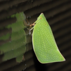 Unidentified Leafhopper & planthopper (Hemiptera, several families) (TBC) at suppressed by TimL