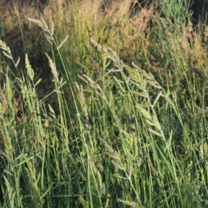 Echinochloa crus-galli (Barnyard Grass) at Monash, ACT by michaelb