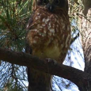 Ninox boobook (Southern Boobook) at Greenleigh, NSW by LyndalT