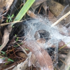 Unidentified Other web-building spider (TBC) at Budawang, NSW - 7 May 2021 by LyndalT