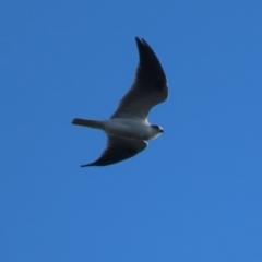 Elanus axillaris (Black-shouldered Kite) at Red Hill Nature Reserve - 10 May 2021 by roymcd
