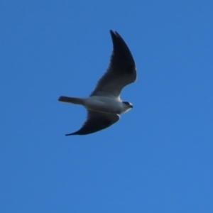 Elanus axillaris (Black-shouldered Kite) at Red Hill Nature Reserve by roymcd