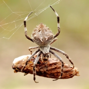 Unidentified Orb-weaving spider (several families) (TBC) at suppressed by Snowflake