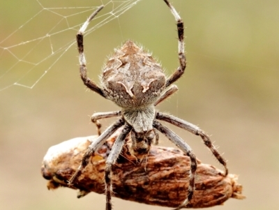 Unidentified Orb-weaving spider (several families) (TBC) at Woodlands - 11 May 2021 by Snowflake